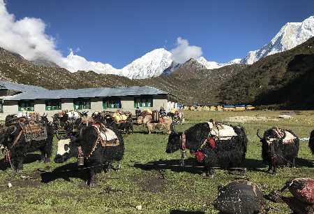 Yaks dans le village de Bhimtag